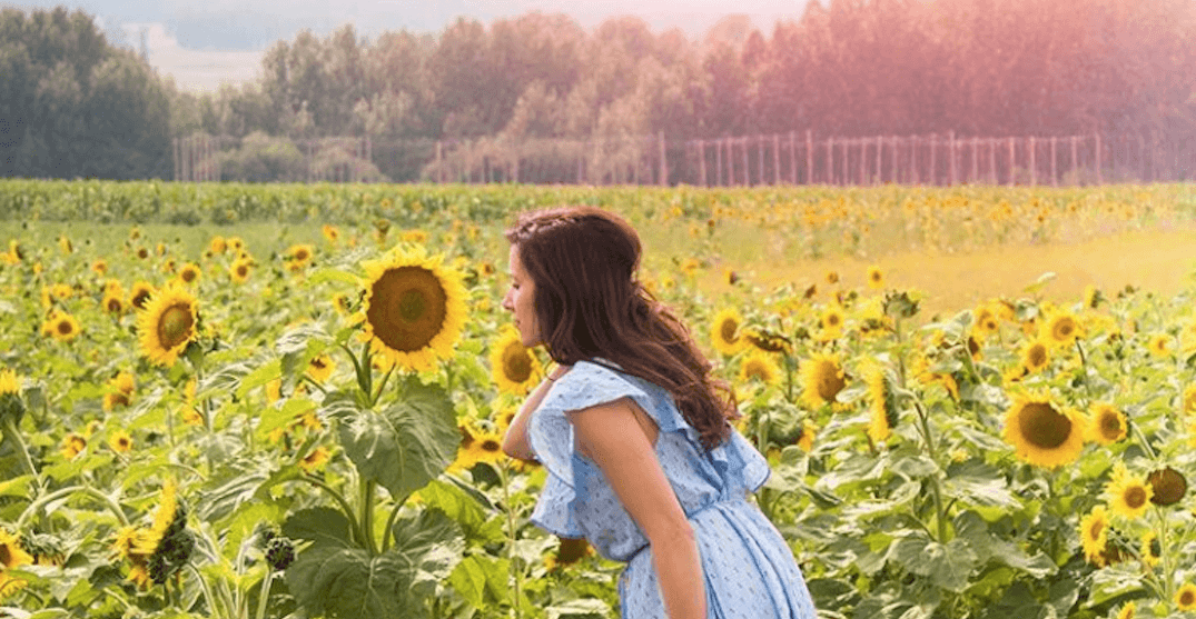 This stunning Alberta sunflower maze is now in full bloom