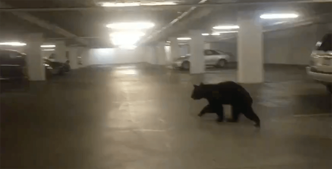 Young bear tranquilized after wandering into Coquitlam parking lot