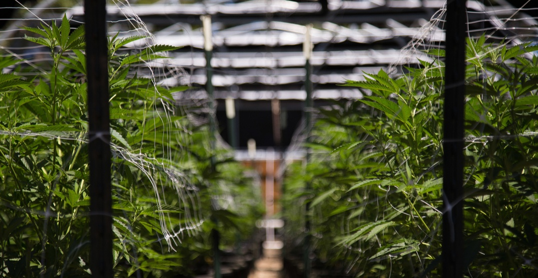 Thunderchild First Nation invests $8 million in Westleaf Cannabis