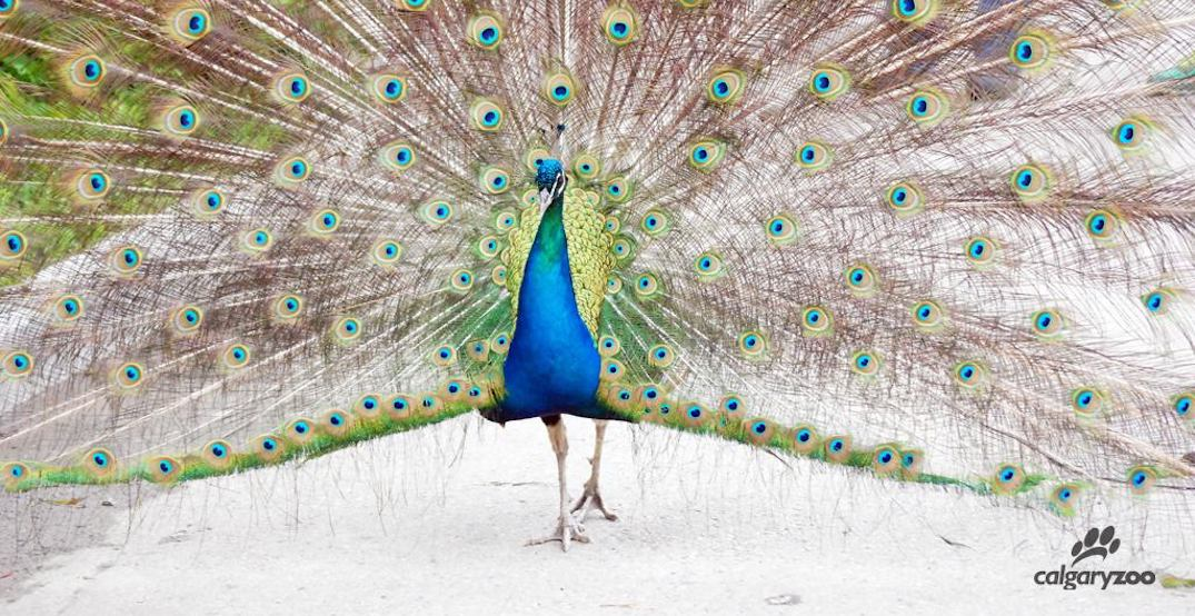 Peacock dies at the Calgary Zoo after being hit by golf cart