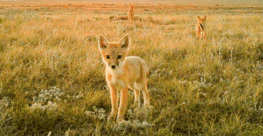 Alberta's swift foxes have made a comeback in the province