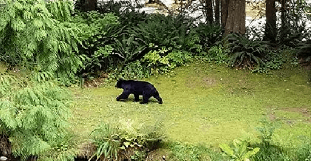 Two North Vancouver hiking trails closed due to 'extreme' bear activity