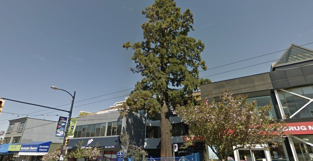 This famous, well-loved Vancouver tree will soon be cut down