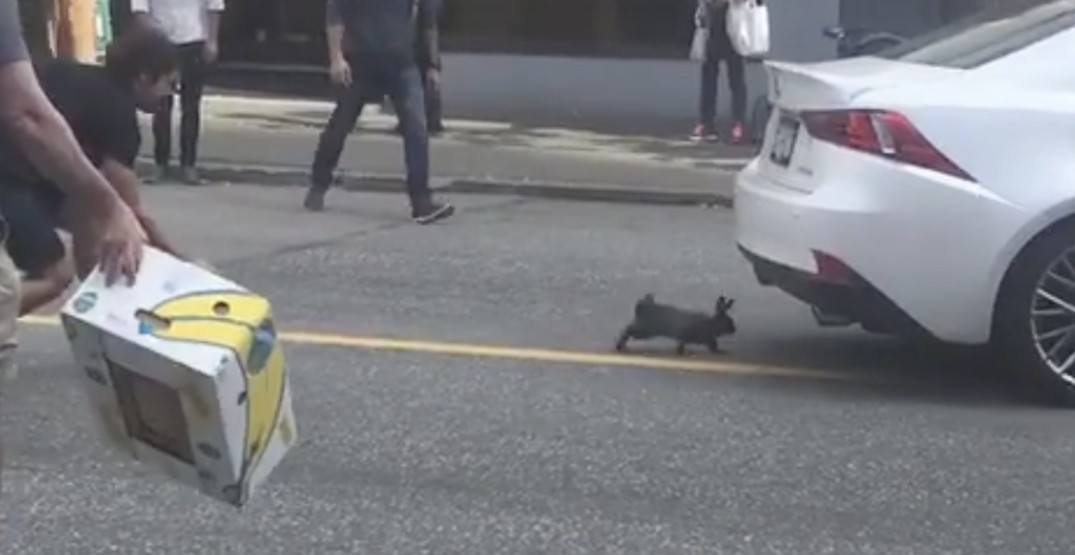 Watch this VPD officer chase a bunny through Vancouver traffic (VIDEO)