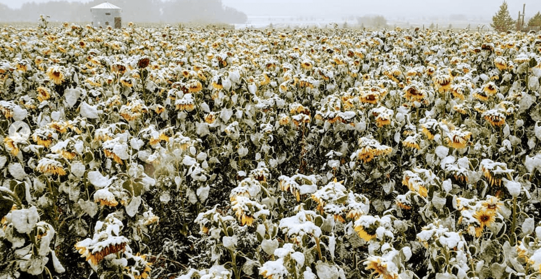 September snow shuts down Bowden Sunflower Maze