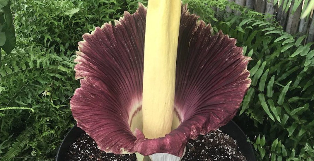 Toronto Zoo's rare corpse flower has reached peak bloom and it smells f*cking awful