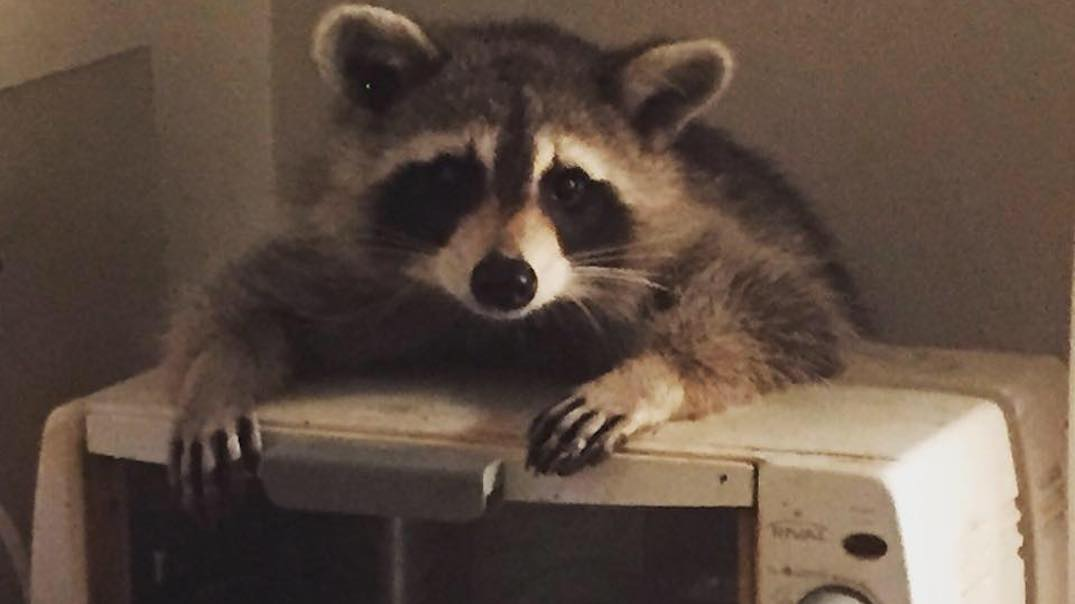 Toronto woman wakes up to find raccoon casually eating in her kitchen (VIDEO)