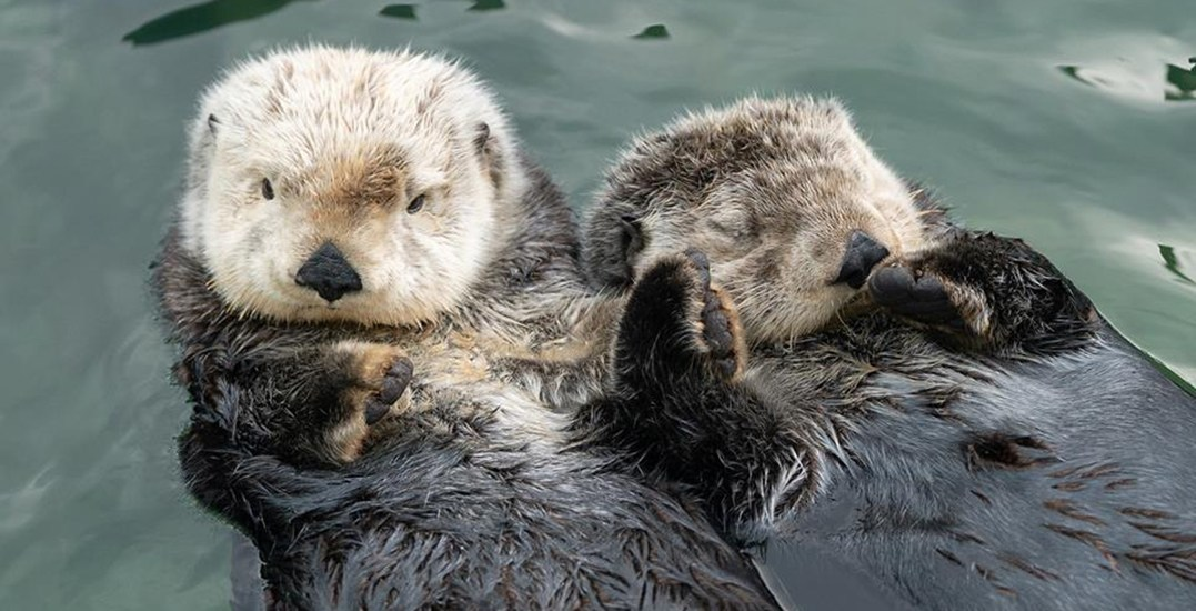 Two of Vancouver Aquarium's new sea otters engage in adorableness (VIDEO)