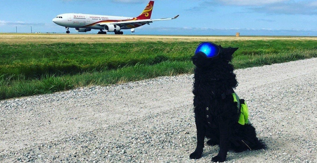 This good dog scares birds off YVR's runways to keep you safe (PHOTOS)
