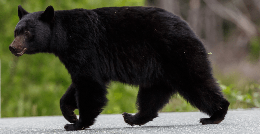 Bear spotting results in trail closures in Metro Vancouver park