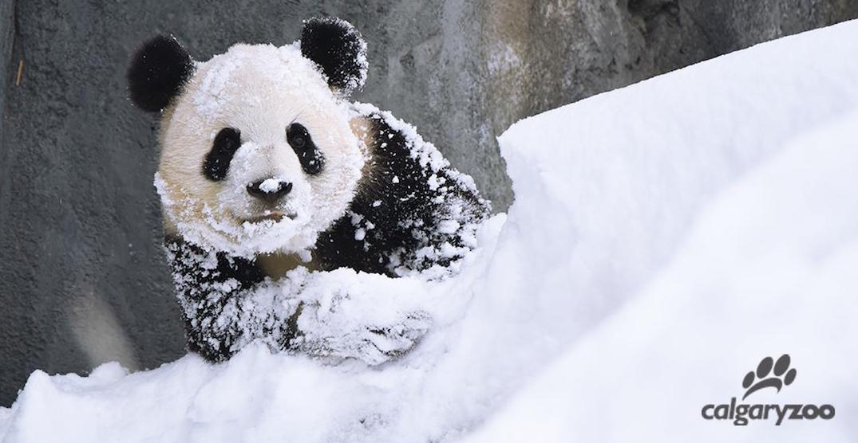 The pandas at the Calgary Zoo are enjoying their first snowfall (PHOTOS)
