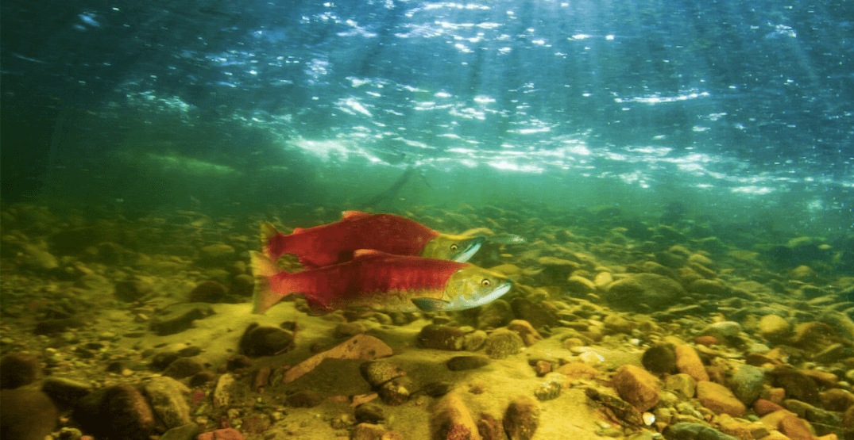 BC photographer captures incredible shots of Adams River salmon run (PHOTOS)