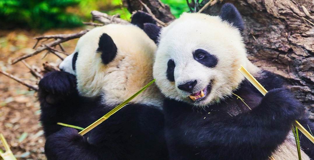 The clock is ticking on the Calgary Zoo pandas' bamboo supply
