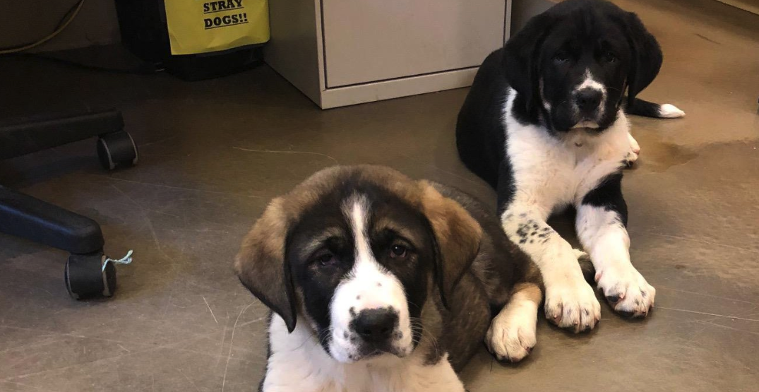 Puppies rescued after being trapped on BC cliff for 4 days