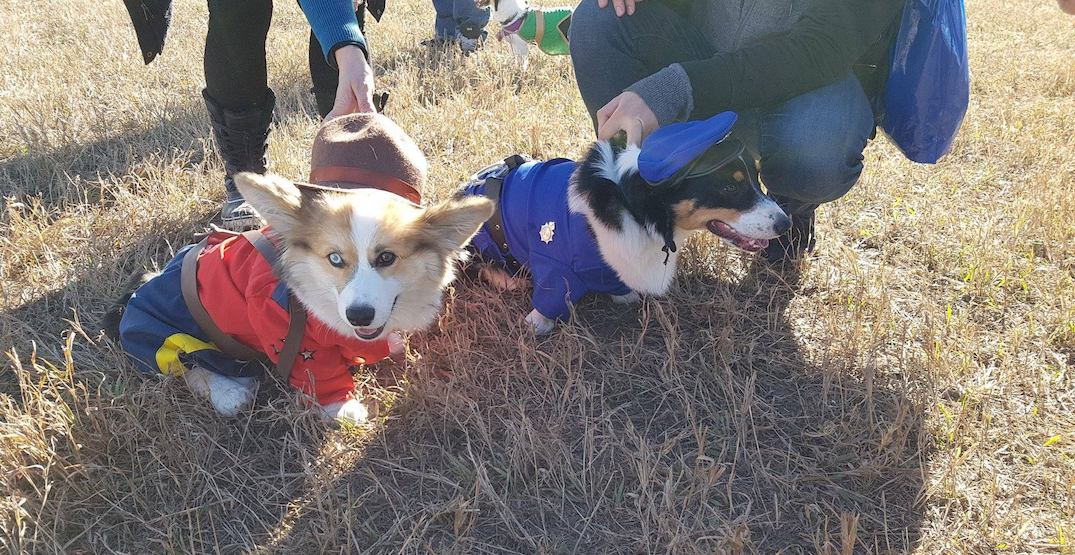 This year's corgi costume meetup was amazingly adorable (PHOTOS)