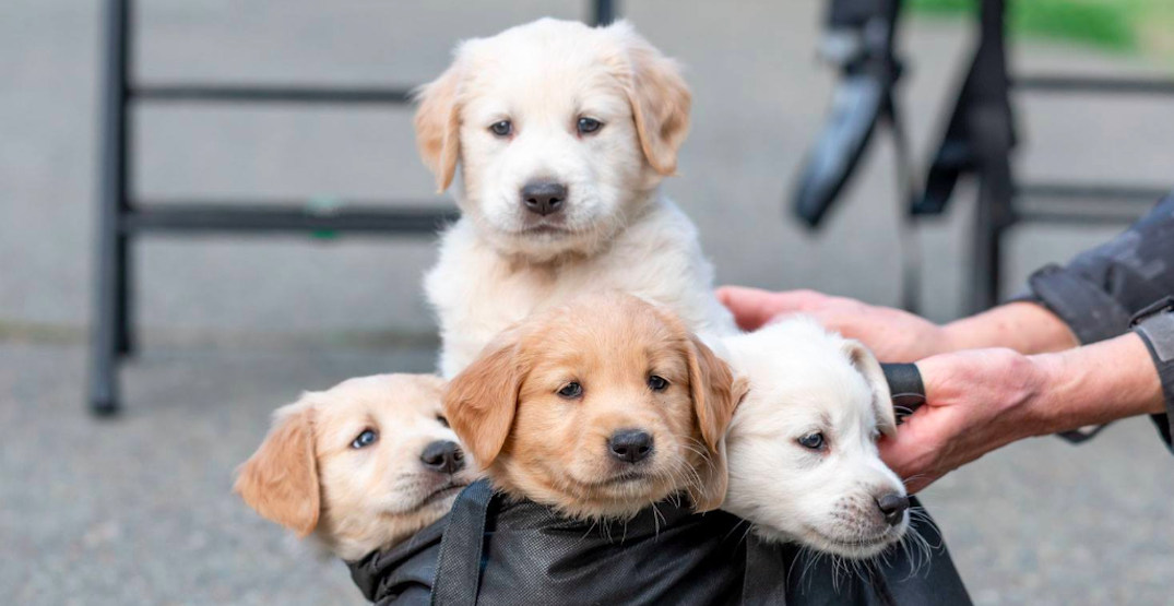 These 11 orphaned Golden Retriever puppies need forever homes