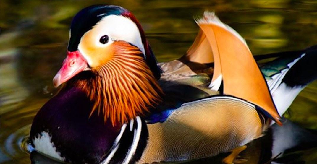 The 'world's most beautiful duck' is hanging around Metro Vancouver