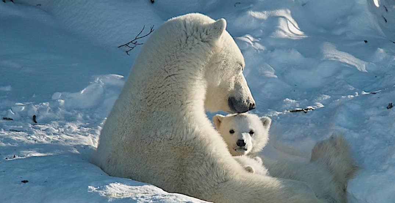 Polar bear week. instagram%40polarbearsinternational