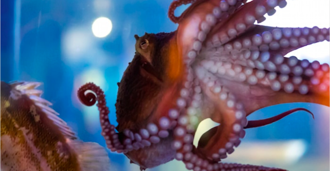 Why Seth Rogen wants you to name this Vancouver Aquarium octopus after him