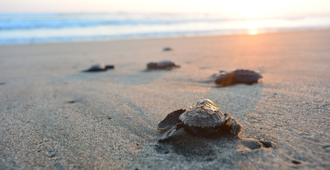You can witness baby turtles venturing out to sea on this pristine island