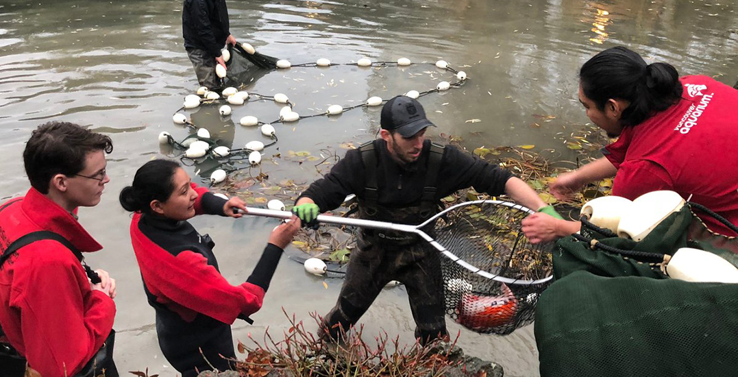 Otter missing in action as remaining koi removed for their safety