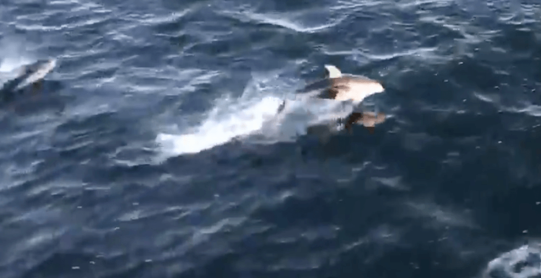 Stunning dolphin encounter captured by BC Ferries traveller (VIDEO)