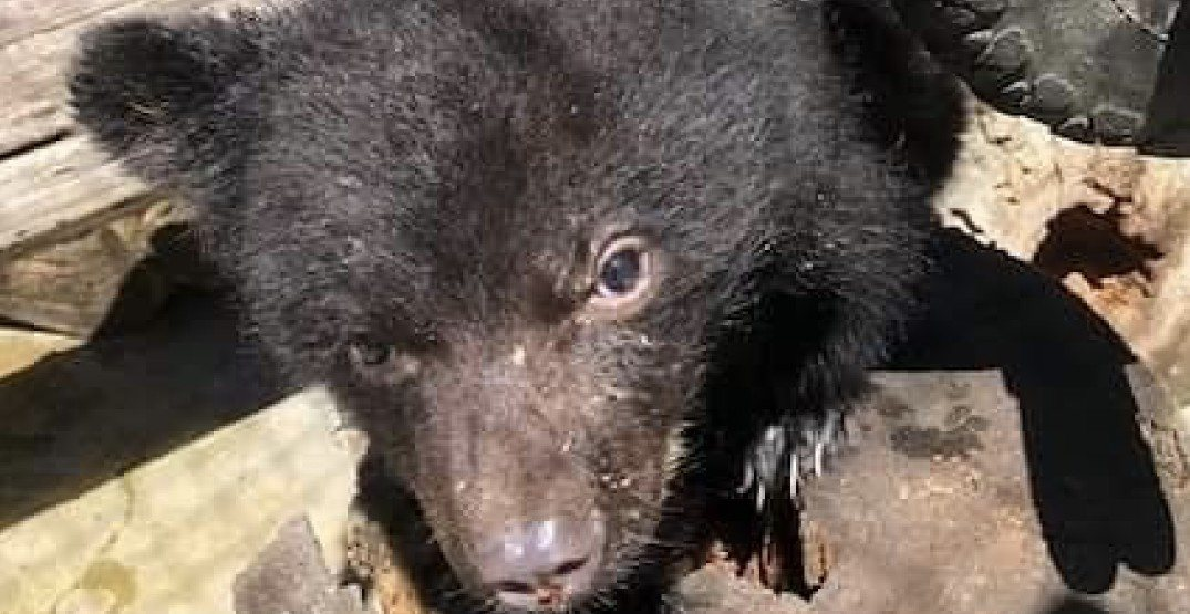 Orphaned bear cub dies from strangulation at BC wildlife rehabilitation centre
