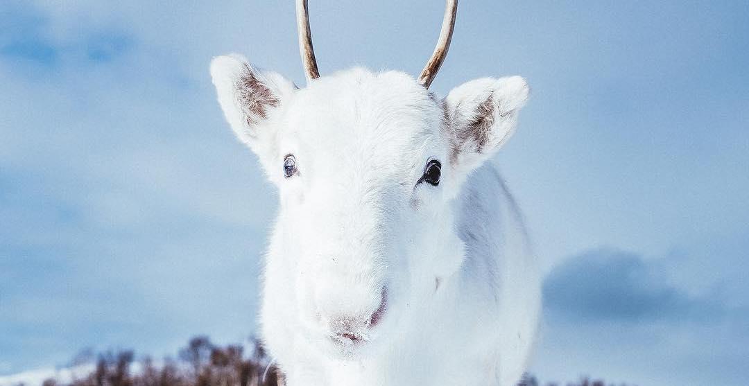 White reindeer captured in norway. %40madsinstagram