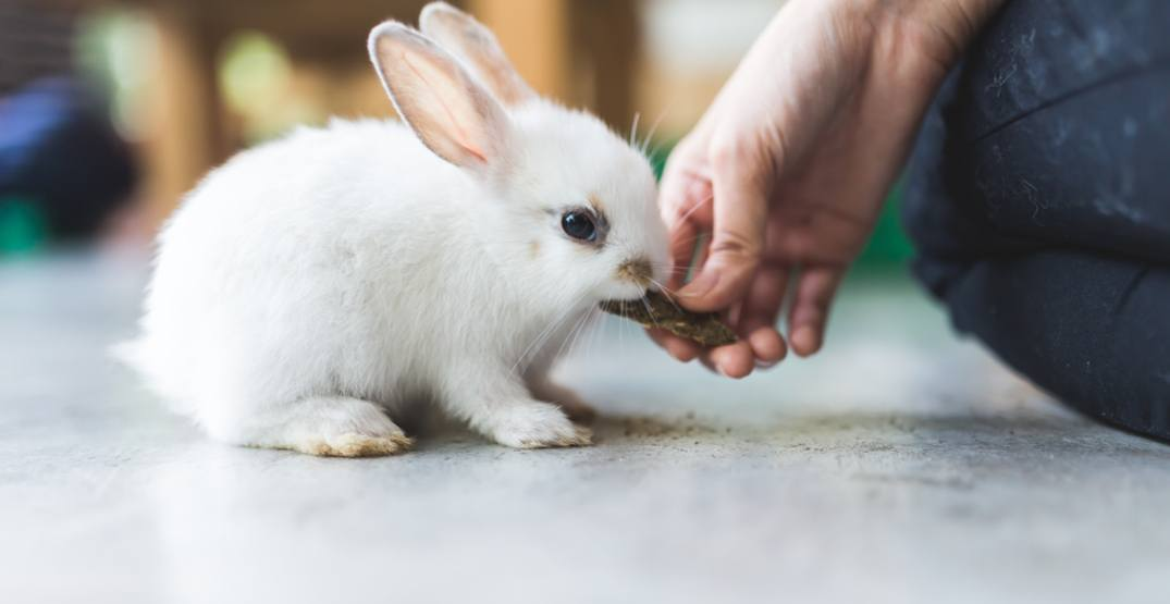 Adorable bunnies are coming to UBC to help stressed-out students cope with life