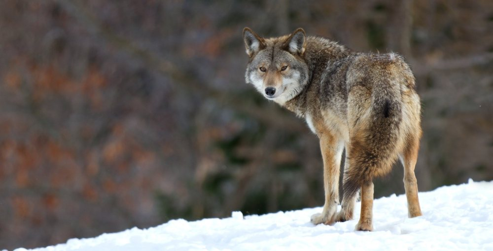 City of Airdrie issues warning after two consecutive coyote attacks