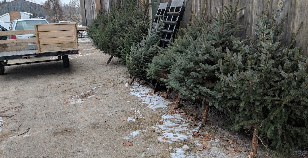 Generous Toronto man giving away FREE Christmas trees from his front lawn
