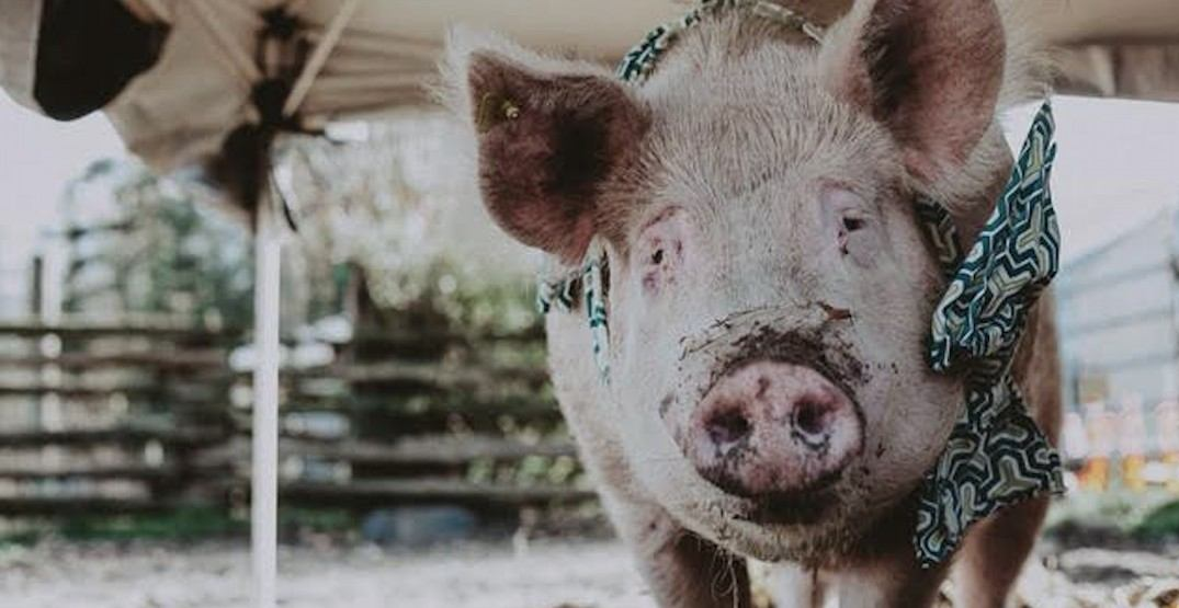 Theodore the 800-pound pig is looking for a loving home this Christmas