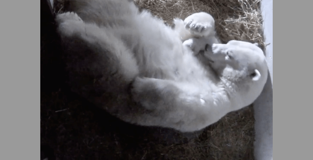 Two polar bear cubs were born 16 days apart at this Quebec zoo (VIDEO)