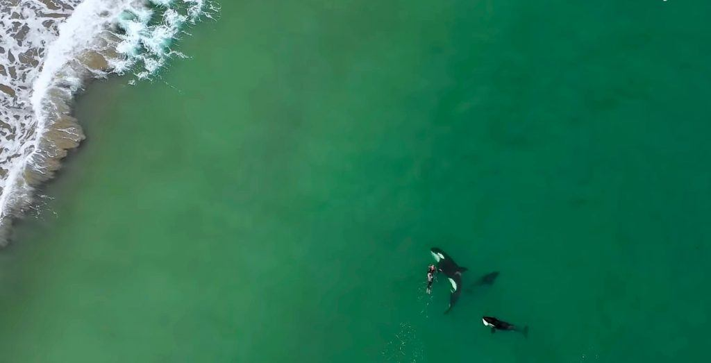 orcas swimming woman