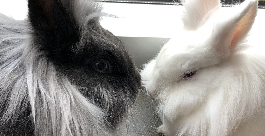 Vancouver's pop-up bunny cafe has been extended until next week