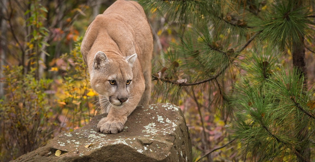2-year-old boy attacked by cougar on Fraser Valley trail