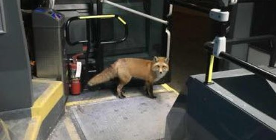 A wild fox found its way onto an STM bus in Montreal (PHOTO)