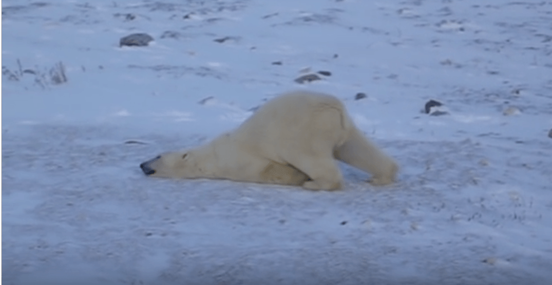 This polar bear is all of us on the last day before the holiday break (VIDEO)