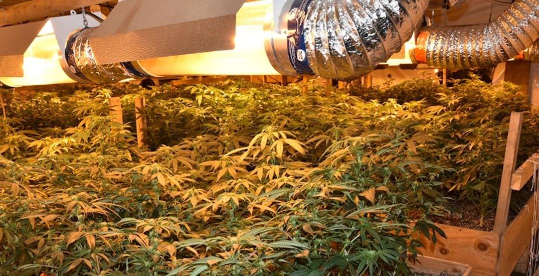 1,500 cannabis plants taken in raid of huge butane honey oil operation