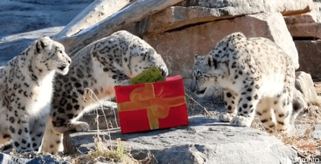 The Toronto Zoo gave its animals presents this year (VIDEOS)