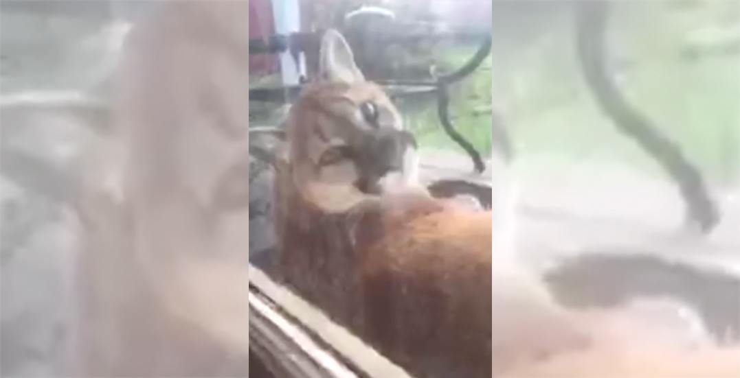 Large cougar camps out on the doorstep of Maple Ridge home (VIDEO)