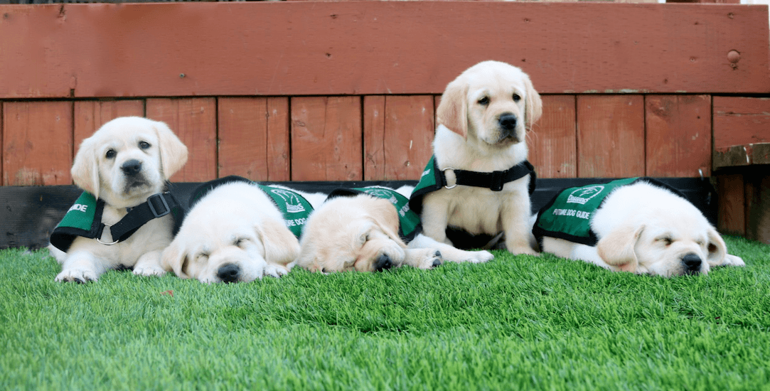 There are 25 Labrador retrievers puppies that need foster families in the GTA