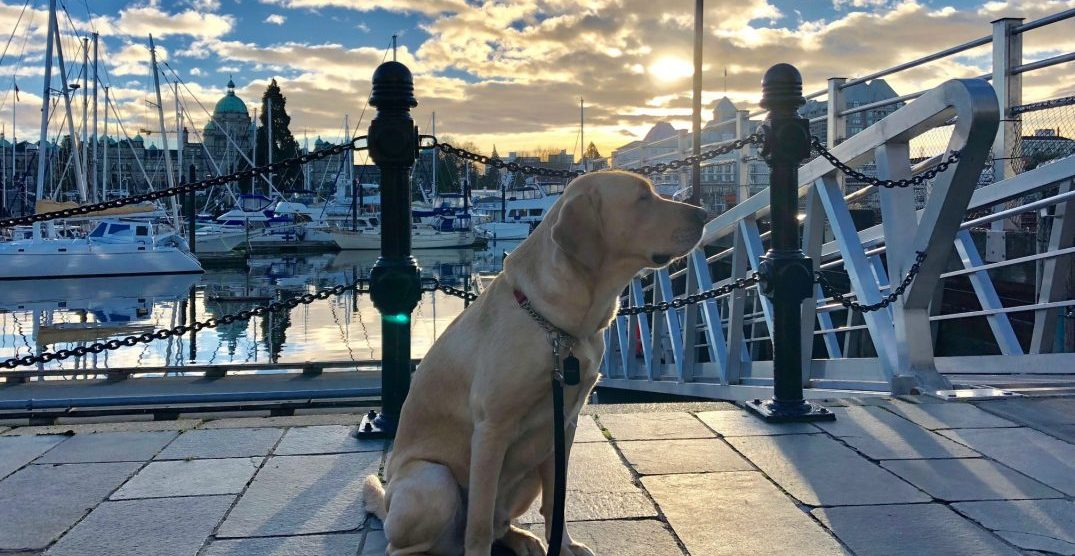 Flunkee guide dog hired to work at one of BC's top luxury hotels