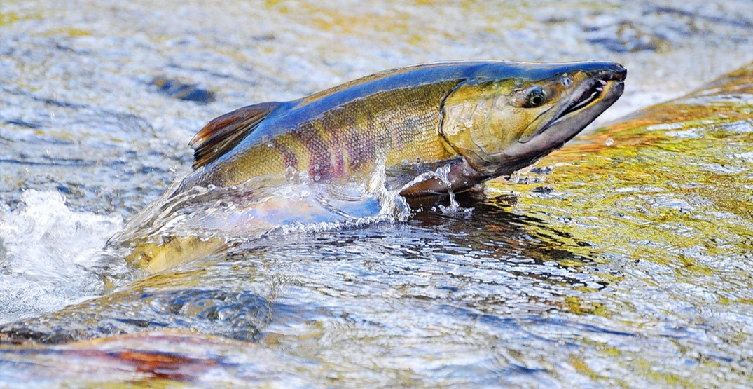 Act of vandalism kills nearly 700,000 young salmon at BC hatchery