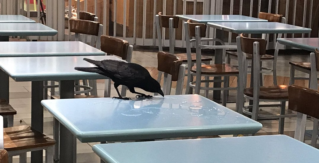 Crow stuck inside YVR airport causes havoc sh*tting everywhere
