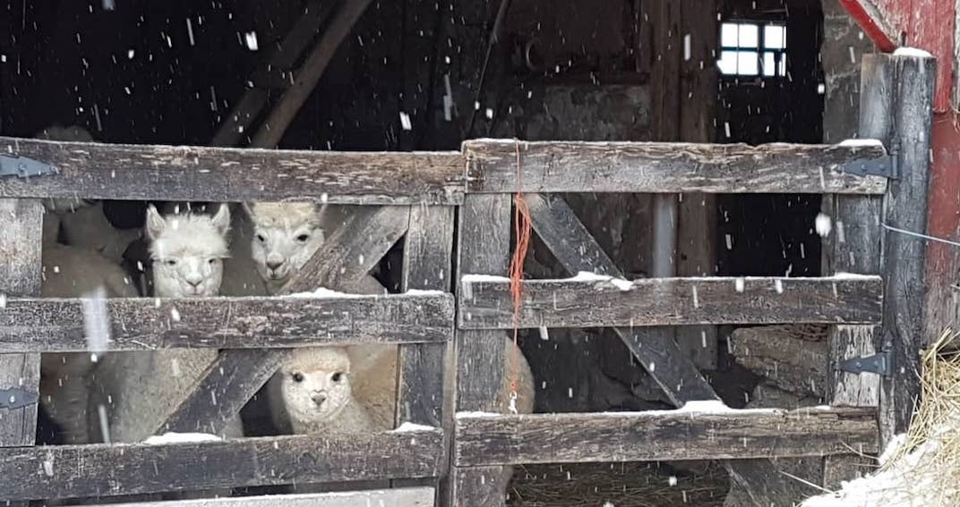 You can visit these alpaca farms near Toronto this winter