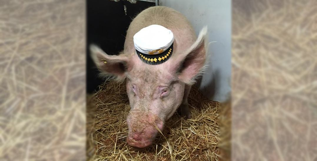 Theodore the 800-pound pig boards a ferry to head to his new BC home