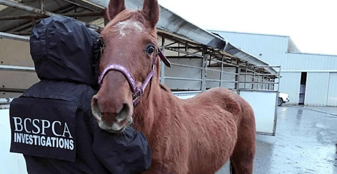 BC SPCA seizes 27 horses as part of Langley animal cruelty case