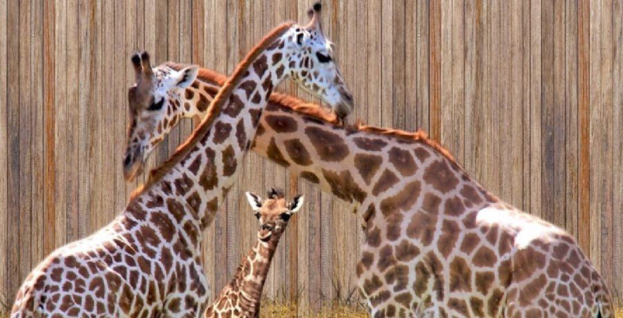 Kendte Parc Safari zoo asks visitors to choose its new baby giraffe's UO-49