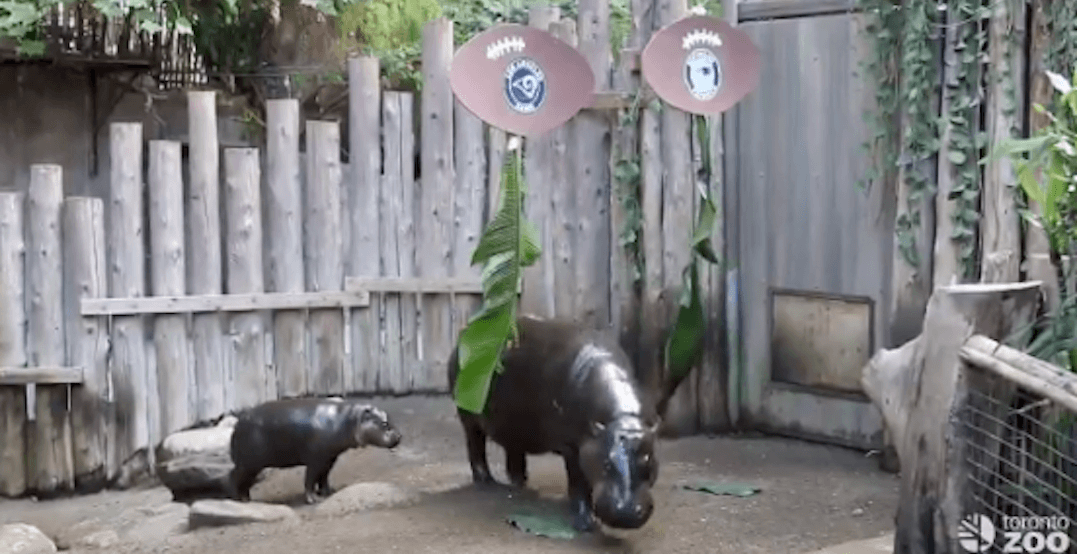 These hippos just predicted which team will win the Super Bowl LIII